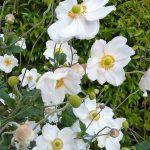 Anemone flower image