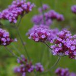 Verbena bonariensis flower