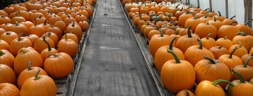 pumpkins ready for Halloween