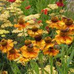 Helenium flower