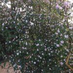 Daphne bholua flower