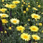 Flower - Anthemis tinctoria 'E.C. Buxton'
