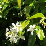 Flower - Trachelospermum jasminoides