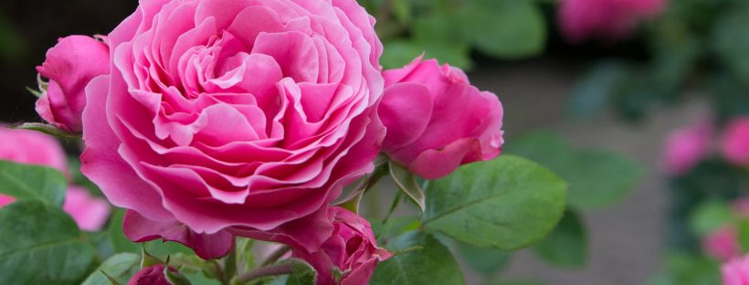 roses in flower