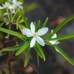 Choisya × dewitteana 'Aztec Pearl'