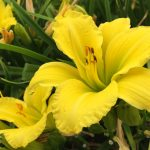 Hemerocallis Green Flutter