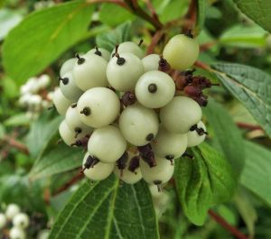 Actaea pachypoda berries