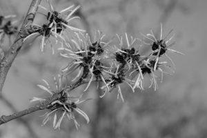 Hamamelis mollis flower