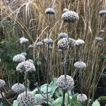 Phlomis russeliana frosted seed heads