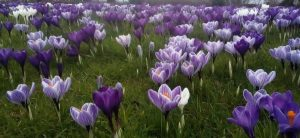 Crocuses in Spring time