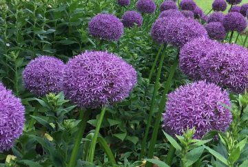 Allium Globmaster flowers