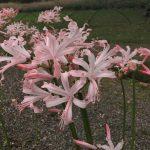 Nerine Bowdenii flower