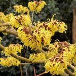 Hamamelis x intermedia 'Pallida' flower